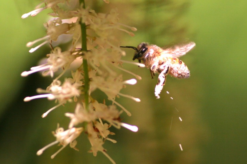 ハチによるマカダミアの受粉
