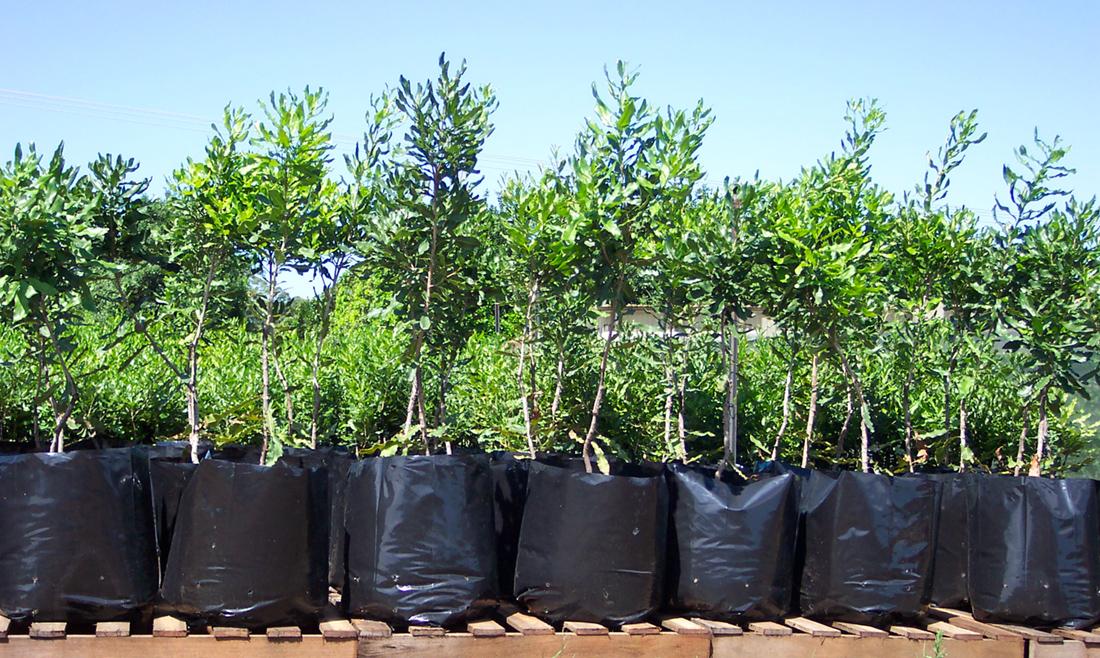 マカダミアナッツを育ててみたい!日本での栽培方法と育て方ガイド