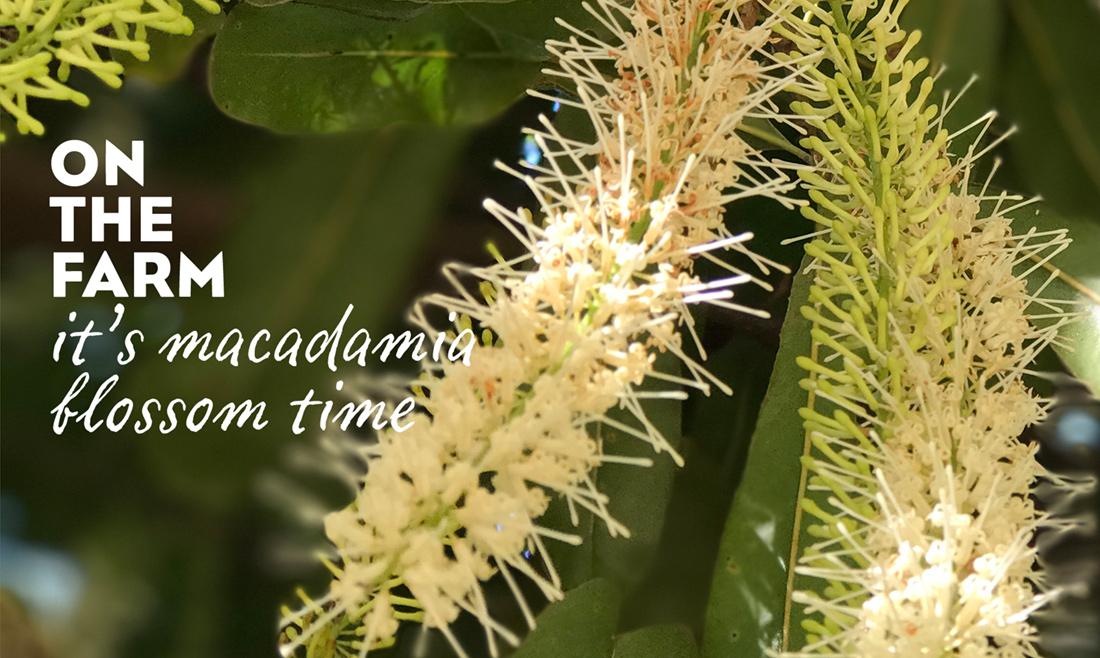マカダミアナッツの花ってどんな花?いつどんな風に咲くの?